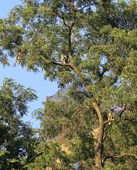 All three fledglings in one tree (Goggla) Tags: nyc new york manhattan east village tompkins square park urban wildlife bird raptor red tail hawk fledgling juvenile goglog