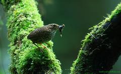 / Pygmy Wren Babbler / Pnoepyga pusilla (bambusabird) Tags: nature birds forest thailand nikon wildlife tropical chiangmai oriental doiinthanon babbler wrenbabbler greenforest bambusabird