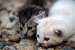 Gattini (socrates197577) Tags: nikon gatto gatti animali cuccioli mygearandme