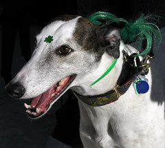 Greyhound (Colorado Sands (taking a little break)) Tags: irish usa greyhound pets dogs america festive march us colorado unitedstates fast denver parade perro event friendly 17 perros bling retired adopted sighthound  shamrock goldenjubilee stpatricksday thornton racer stpats 2012 dogtags chiens greyhounds  nonprofit anjing stpatricksdayparade stpatricksparade stpaddys sighthounds retiredracinggreyhounds retiredgreyhounds racingdogs sandraleidholdt fastdogs leidholdt irishparades friendsofretiredgreyhounds americanparades wwwfriendsofretiredgreyhoundsorg adoptiongroups