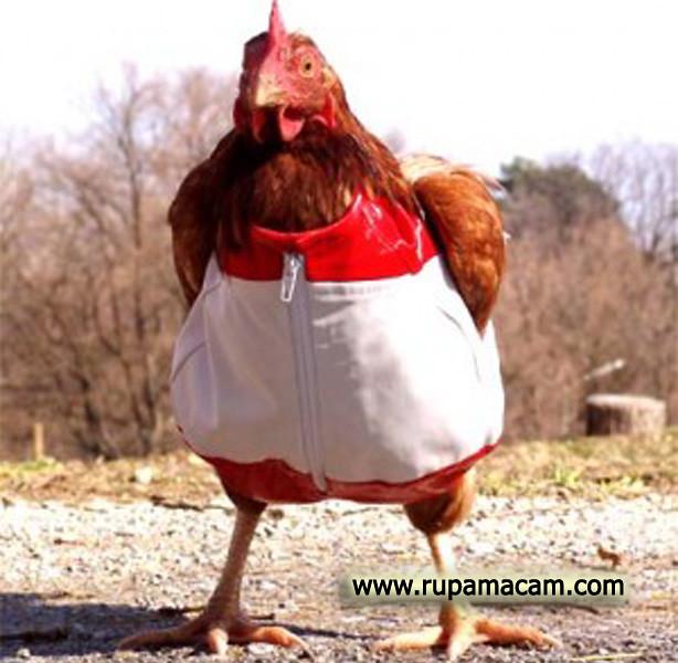 Ayam MERAH Putih