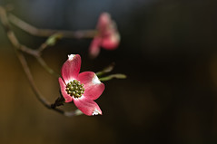 pink dogwood (loco's photos) Tags: pink flowers red plants color tree nature season outdoors spring pentax blossom bloom kr dogwood da5514