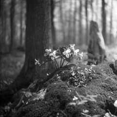 Trillium Time (BunnySafari) Tags: bw film forest spring guelph hc110 foliage yashicaa trilliums fpp 2011 ilford400 starkeys bunnysafari