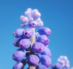 Grape Hyacinth (Sandra Leidholdt) Tags: flowers flores america fleurs spring colorado unitedstates blossoms denver bulbous blooms fiori springflowers hyacinth blooming grapehyacinth blueflowers hyazinthe lilyfamily traubenhyazinthe sandraleidholdt muscan sandyleidholdt