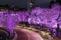 ミッドタウン・ブロッサム Midtown Blossom 2012 (ELCAN KE-7A) Tags: tree japan cherry tokyo pentax illumination midtown 桜 日本 roppongi 東京 2012 六本木 サクラ k7 ソメイヨシノ イルミネーション ライトアップ ペンタックス ミッドタウン