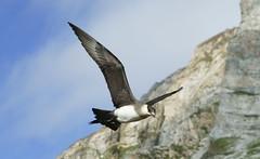 Arctic Skua (Parasitic Jaeger) (Alex Cowan) Tags: bird expedition norway g wildlife gap svalbard arctic ms jaeger adventures spitsbergen spitzbergen birdlife skua alkornet