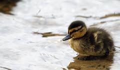 Mallard duckling (FollowYourDreams2012) Tags: cute water duck feathers droplet chicks mallards freedomtosoarlevel1birdphotosonly freedomtosoarlevel2birdphotosonly
