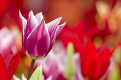 Rajka Purple dream (Arne Kuilman) Tags: flower netherlands amsterdam tulip vondelpark bloemen fel purpledream paars bloem kleur tulp kleuren zonnig rajka rozenperk