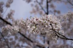 IMGP6933 (Amad) Tags: japan kiryu spring flower sakura