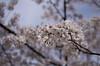 IMGP6933 (Aḥmad) Tags: japan kiryu spring flower sakura 日本 桐生 春 桜 さくら ساكورا زهرة ربيع يابان