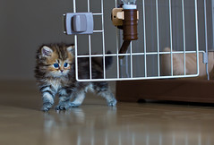 Taste of Freedom (torode) Tags: baby brown white cute cat golden persian kitten blueeyes cage innocence neko waterbottle nyan koneko nyanchan