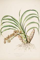 n62_w1150 (BioDivLibrary) Tags: guatemala mexico orchidaceae plants missouribotanicalgardenpeterhravenlibrary bhl:page=769178 dc:identifier=httpbiodiversitylibraryorgpage769178 taxonomy:binomial=mormodesmaculata womeninscience artist:name=augustainneswithers artist:viaf=95819243 augustainneswithers q2870951 illustrator:wikidata=q2870951 hernaturalhistory