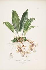 n96_w1150 (BioDivLibrary) Tags: guatemala mexico orchidaceae plants missouribotanicalgardenpeterhravenlibrary bhl:page=769212 dc:identifier=httpbiodiversitylibraryorgpage769212 taxonomy:binomial=stanhopeamartiana womeninscience artist:name=augustainneswithers artist:viaf=95819243 augustainneswithers q2870951 illustrator:wikidata=q2870951 hernaturalhistory