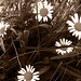 """Daisies • <a style=""""font-size:0.8em;"""" href=""""http://www.flickr.com/photos/64905600@N05/7161598081/"""" target=""""_blank"""">View on Flickr</a>"""