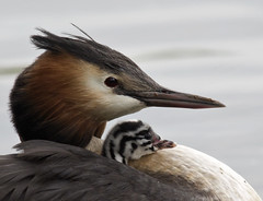 Double Portrait (pe_ha45) Tags: greatcrestedgrebe haubentaucher mygearandme mygearandmepremium rememberthatmomentlevel4 rememberthatmomentlevel1 rememberthatmomentlevel2 rememberthatmomentlevel3 rememberthatmomentlevel5