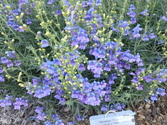 penstemon heterophyllus (flora-file) Tags: california plants garden tour gardening wildflowers horticulture natives bringingbackthenatives