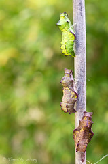 Puipevine Swallowtail-7704 (Timtastic!) Tags: butterfly aristolochia pupa pipevineswallowtail diapause battus hirsuta philenor chyrsalis