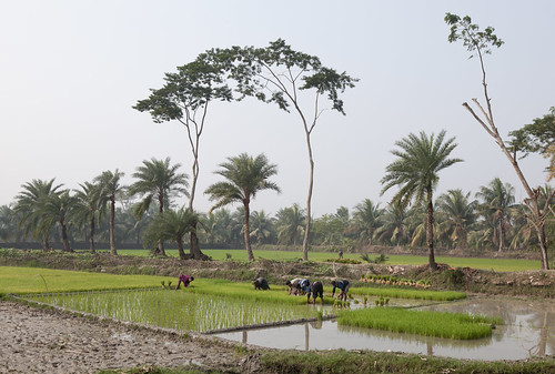 Rice field in Khulna, Bangladesh. Photo by Mike Lusmore/Duckrabbit, 2012