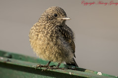 Pied Bush Chat (Juvenile)