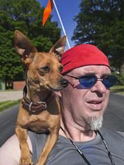 this is how we ride, when we ride (Paul mit dem Pinscher) Tags: portrait dog brown me cycling riding hund trike braun shoulder ich pinscher selfshot fahrradfahren schulter germanpinscher portät rehpinscher zwergpinscher deutscherpinscher miniaturpinscher miiaturepinscher minipinfahrrad