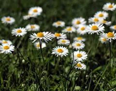 Down with the Daisies (saxonfenken) Tags: daisy flower lawn dof friendlychallenges pregamewinner herowinner superhero thumbsup 616flowers 616 white many wildflowers bigmomma tcf