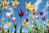 (evisdotter) Tags: flowers sky colors tulip blommor tulpan platinumheartawards uppsalabotaniskaträdgård vanagram platinumpeaceaward mygearandme mygearandmepremium mygearandmebronze mygearandmesilver mygearandmegold