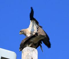 Swainson Hawks (K Fletcher) Tags: canada calgary bird hawk raptor alberta inglewood swainsonhawk