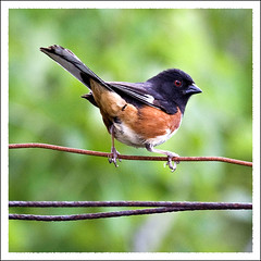 Eastern Tohee-b (charlie.hastings) Tags: nature birds easterntowhee