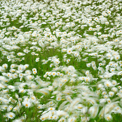 Wind in the field II (flowerpics09) Tags: flowers white flower green nature june juni graphic wind sommer natur dream wiese grn weiss farben mecklenburg farbrausch summermeadow wischer d700 windbe mageritten sommerblumenwiese
