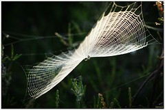 Kruisspin in zijn web (20D29915) (Hetwie) Tags: nature landscape spider web spin natuur landschap noordbrabant strabrechtseheide spinnewebkruisspin