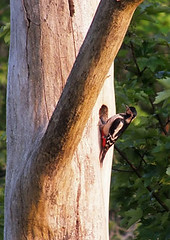 Female Greater Spotted Woodpecker (rowanlea51) Tags:
