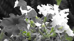 Affirmation Bias (donnazoll) Tags: red green petunia dz floweres donnazoll selectivereasoning affirmationbias