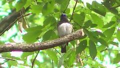 / Blue-and-White Flycatcher (Polotaro) Tags: bird nature pen olympus  zuiko ep1  blueandwhiteflycatcher  everio      fzuiko300mmf45 gzhm450
