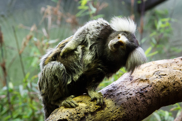 Common Marmoset and baby