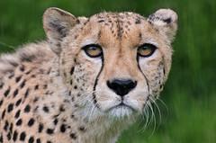 Cheetah 2 (Funky Foxy) Tags: cheetah acinonyxjubatus flickrbigcats endangeredbigcats