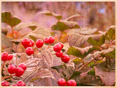 baies rouges (Marie-Thierry) Tags: red fruit composition rouge berries small petit sauvage baies