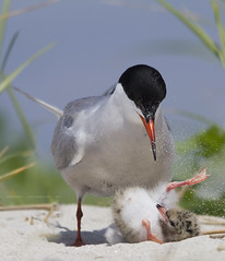Brutal Reality (Lisa Franceski) Tags: ocean baby beach nature sand wildlife chick behavior seabird brood naturalhabitat commontern sternahirundo commonternchick sigma120400mm canont2i lisafranceski