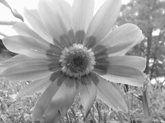 (carolinacenóz) Tags: blackandwhite bw flower blancoynegro argentina buenosaires kodak bn easyshare c813 kodakeasysharec813