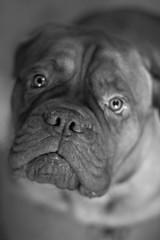 Saddest Dog in the World (Harold Bishop's Love Child) Tags: portrait blackandwhite bw dog pet white black de french eyes sad mastiff bordeaux wrinkles begging saddest jowls dogue doguedebordeaux frenchmastiff
