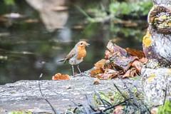 Robin feeding young nearby I think. (dave p brecks) Tags: robin birds canon 7dmarkii tamron16300