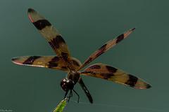 Tightrope walker (Fred Roe) Tags: macro nature insect dragonfly wildlife evergladesnationalpark halloweenpennant celithemiseponina nikonafsteleconvertertc14eii nikond7100 nikkorafs80400mmf4556ged lca71c7183