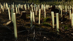 Alternation in Generations (offroadsound) Tags: friedhof forest sticks cemetary bosque series rods protection wald stumps hils cemeterio generationenwechsel alternationingenerations