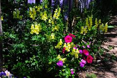 Antique Rose Emporium 3 (Autophocus) Tags: flowers garden outdoors spring colorful blossoms vegetation blooms springtime flowerbeds texashillcountry naturesbeauty springcolors springtimeintexas