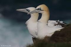 Gannet at RSPB Troup Head (AMKs_Photos) Tags: sea canon photography eos scotland aberdeenshire head aberdeen 7d shire seabird gannet troupe troup amk morus rspb bassanus trouphead troupehead amksphotos
