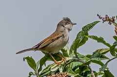 JWL3988  Whitethroat... (jefflack Wildlife&Nature) Tags: nature birds countryside woodlands wildlife avian warbler heathland songbirds wildbirds warblers whitethroat coastalbirds