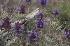 """Purple Sage • <a style=""""font-size:0.8em;"""" href=""""http://www.flickr.com/photos/63501323@N07/26878483113/"""" target=""""_blank"""">View on Flickr</a>"""