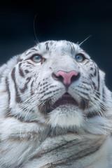 Spica  - I Wonder What It Is (Harimau Kayu (AKA Sumatra-Tiger)) Tags: baby animal zoo kid feline tiger bigcat snowwhite bigcats whitetiger zooshot spica tobu mirrormirror bengaltiger babytiger knigstiger  tigreblanco pantheratigristigris tobuzoo tigreblancroyal  tigredubengale weisertiger indischertiger   keddo eltigredebengala latigrerealedelbengala