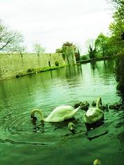The swans of Wells (stijnbulckaen) Tags: england swan britain wells swans angleterre engeland zwaan zwanen