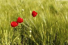 MOHNBLUMEN (PADDYSCHMITT.DE) Tags: mohnblumen weizenfeld oberschwaben rotemohnblumen