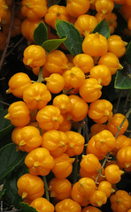 20140918_06 Wee orange fruits of Duranta erecta | Monaco (ratexla) Tags: life travel vacation favorite orange plants holiday plant travelling nature fruits beautiful fruit europe riviera earth idplease monaco journey frukt traveling interrail semester interrailing tellus 2014 organism eurail tgluff durantaerecta frukter europaeuropean tgluffning tgluffa eurailing earthporn photophotospicturepicturesimageimagesfotofotonbildbilder resaresor canonpowershotsx50hs 18september2014 ratexlasantibestrip2014
